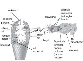 gambar porifera
